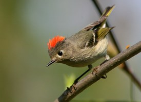 Ruby-crowned Kinglet. photo by Ken Schneider, Cornell Lab of Ornithology.